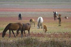 Salvaje-caballos andaluces Imagen de archivo libre de regalías
