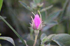 Salvaje espinoso rosado subió imagen de archivo libre de regalías
