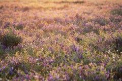 Salvaje floreciente en puesta del sol Imágenes de archivo libres de regalías