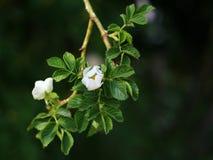 Salvaje subió, el rugosa de Rosa de la rosa del blanco en la floración con el espacio de la copia Imagen de archivo libre de regalías