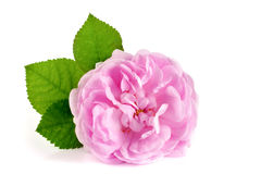 Salvaje subió flor la floración aislada en un fondo blanco Imagen de archivo