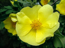 Salvaje subieron - las flores amarillas de la primavera Fotografía de archivo