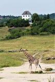 Salvaje verde alto del parque zoológico de la jirafa fotografía de archivo