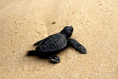 Salvar a tartaruga, Imagens de Stock Royalty Free