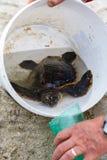 Salvataggio della tartaruga nella sabbia Fotografia Stock Libera da Diritti
