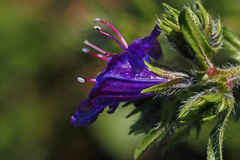 Salvation Jane. Closeup view of a Salvation Jane purple flower on the wild Stock Images