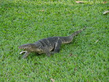 Salvator de lizardVaranus de moniteur d'eau au parc de Lumphini, Bangkok Photo stock