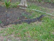 Salvator de lizardVaranus de moniteur d'eau au parc de Lumphini, Bangkok Images libres de droits