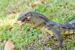 Salvator de Varanus mangeant la grenouille Photo stock