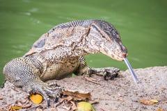Salvator del varanus del lagarto de monitor de agua Fotografía de archivo