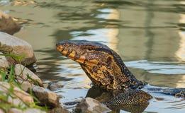 Salvator di varano del monitor dell'attivit? dell'acqua che va su dall'acqua nel parco della Tailandia fotografia stock libera da diritti