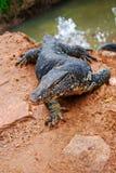 Salvator di varano, una grande fine della lucertola su, lo Sri Lanka Fotografia Stock