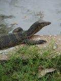 Salvator lizardVaranus монитора воды на парке Lumphini, Бангкоке Стоковое фото RF