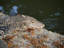 Salvator lizardVaranus монитора воды на парке Lumphini, Бангкоке Стоковое Изображение RF