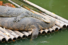 Salvator or varanus. Salvator as animal carcasses as food Royalty Free Stock Photography