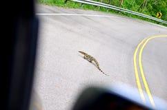 Salvator Varanus na estrada Fotografia de Stock