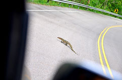 Salvator Varanus on the road Stock Photography