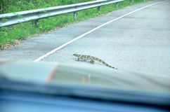Salvator Varanus on the road Stock Images