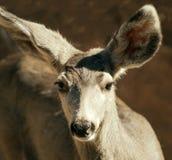 Salve! Saluto dei cervi muli Fotografia Stock