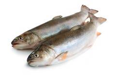 Salvelinus, salmonid Stock Image