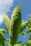 Salvia叶子 库存照片