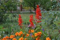 Salvia和万寿菊 美丽非常 免版税库存图片