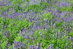 Salvia花 免版税图库摄影