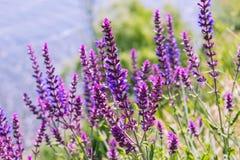 Salvia,草甸贤哲植物背景紫色夏天花  免版税库存照片