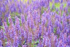 salvia λουλουδιών Στοκ εικόνα με δικαίωμα ελεύθερης χρήσης