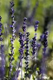 salvia цветка farinacea Стоковые Изображения