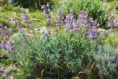 salvia шалфея officinalis поля Стоковая Фотография RF