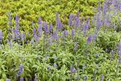 salvia шалфея officinalis поля Стоковое Изображение RF