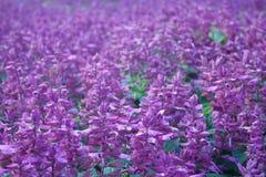 Salvia紫色花 免版税库存照片