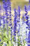 Salvia紫色花 库存照片