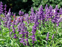 Salvia Royalty Free Stock Photography