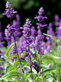 salvia Royaltyfria Foton