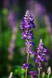 Salvia Imagens de Stock Royalty Free