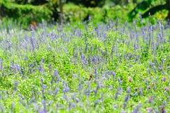 Salvia Images libres de droits