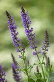 Salvia Stockfoto