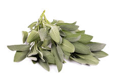 Salvia Stock Images