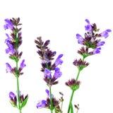 Salvia花 库存照片