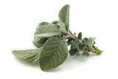 Salvia Royaltyfria Bilder