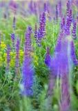 Salvia 免版税库存图片
