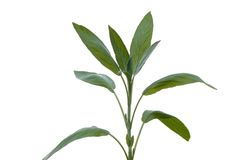 Salvia 5 Lizenzfreies Stockbild