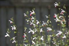 Salvia Arkivbilder