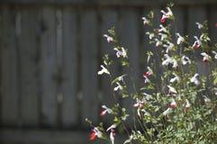 Salvia Fotografering för Bildbyråer