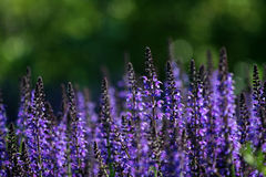 Salvia. The salvia plant is not only a ornamental grass in gardens but also a magical herb. This is salvia jurisicii, blue Stock Photography