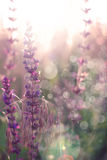 Salvia Image libre de droits