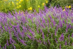 紫色salvia 图库摄影