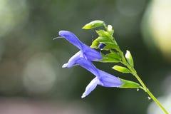 Salvia Royalty-vrije Stock Fotografie
